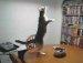 고양이의 귀여운 댄스