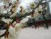 창덕궁 매화나무