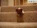 계단 내려오려고 안절부절 애쓰는 강아지~ !